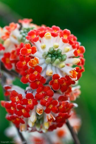 Edgeworthia chrysantha 39 akebono 39 39 red dragon 39 flickr for Edgeworthia chrysantha