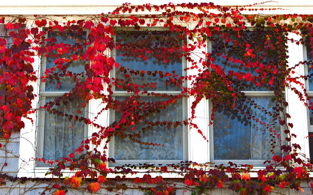 Red Leaves on the Windows