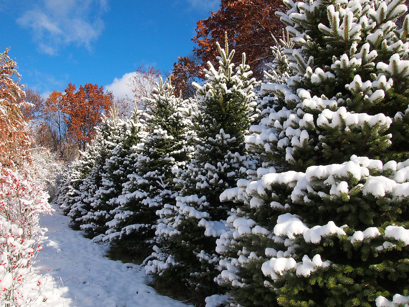 Paradise Hill Christmas Tree Farm