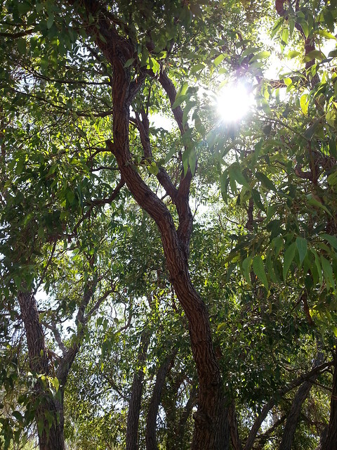 sunflare through a stand of jarrah