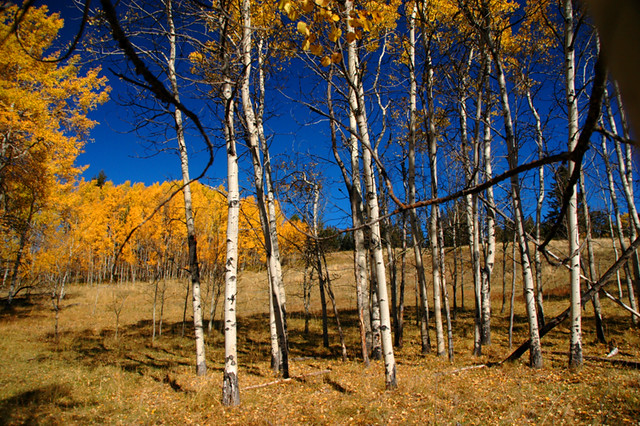 golden birch trees in the hills above Merritt