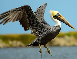 Brown Pelicans | by bayou_josh