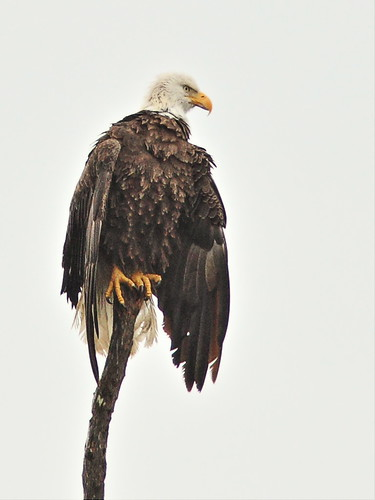 Bald Eagle female 2-20140131