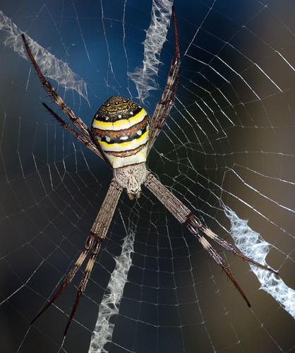 St Andrews Cross Spider | by wigzac