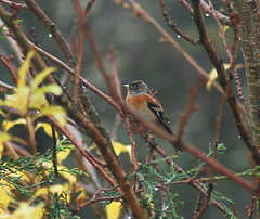 A Brambling, I think. | by Gale's Photographs