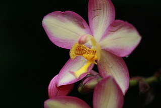 orchid | by mintyfreshflavor