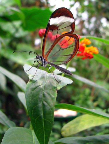 Glass wing butterfly at London Zoo | by Blomerus Calitz