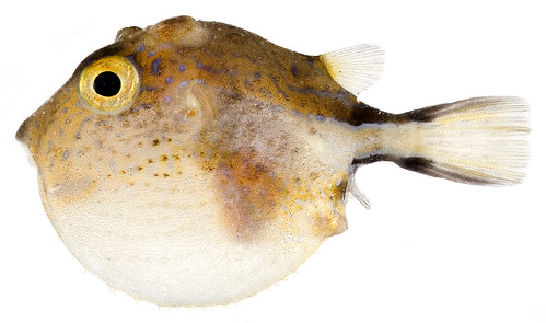 Canthigaster rostrata, Inflated (Caribbean Sharp-Nose Puffer) | by Smithsonian Institution