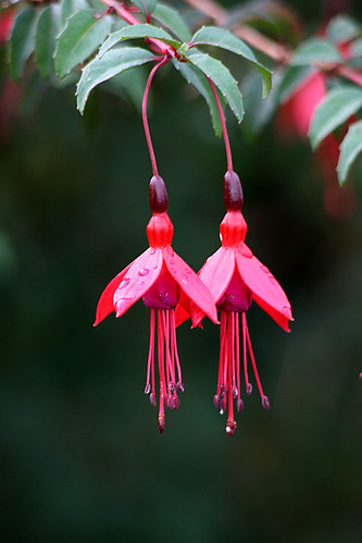 Twin fuschia flowers | Almost identical twins View On ...