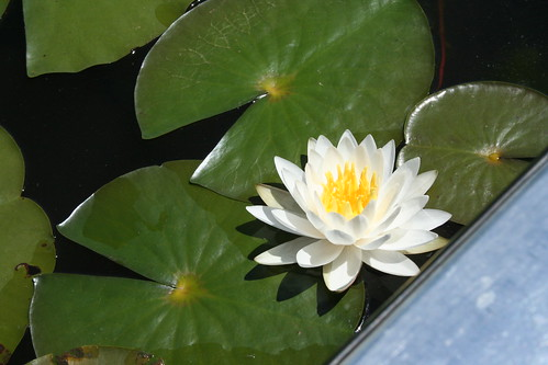 water lotus spring 2008 | by Theresa in MS