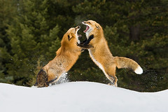 Red Foxes Scrapping | by Stephen Oachs (ApertureAcademy.com)