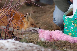 Romeo Present Toss 2009 | by Wild Spirit Wolf Sanctuary Wolves