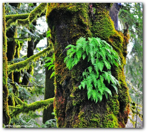 Ferns Growing off Moss on Tree | by Gr8ful Dad