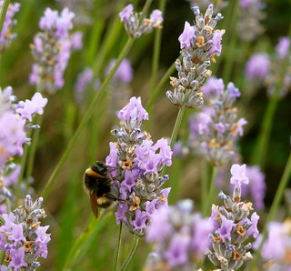 sleeping bee on Lavender | by Scorpions and Centaurs