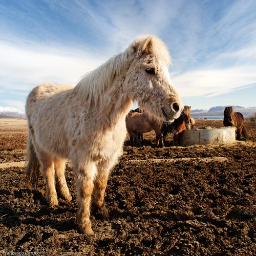 Smiling icelandic horse | by francesco.ca