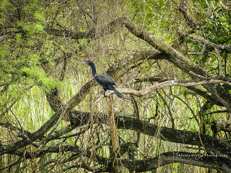 Mbigua – Phalacrocorax brasilianus