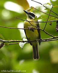 Golden-bellied Flycatcher | by Michael Woodruff