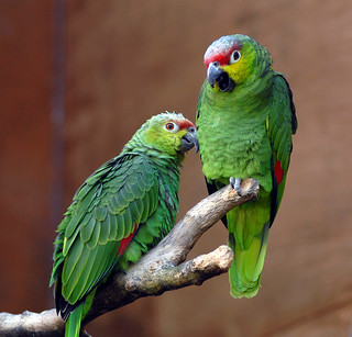 A Pair of Ecuadorian Amazon Red-Lored  Parrots | by Steve Wilson - over 8 million views Thanks !!