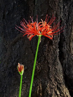 Spider lilly | by Blue Lotus