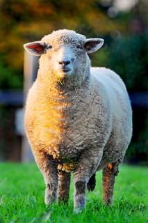 Bicolor sheep | by Tambako the Jaguar