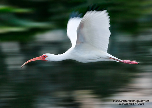 White Ibis 6756 | by floridanaturephotography