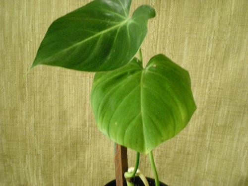 Philodendron 'Ventricosum'