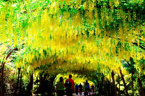 BODNANT GARDENS~LABURNUM ARCH. | by tommypatto : ~ IMAGINE.