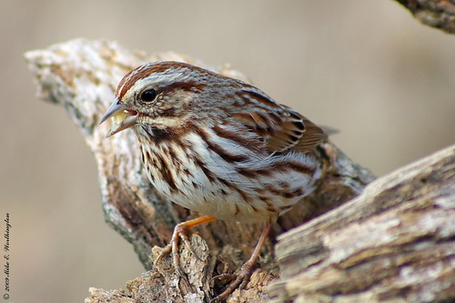 Song Sparrow | by mworthi245