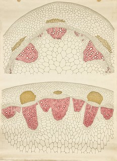 Dicot stem cross-section -- Anatomia Vegetal 1929, pub. by FE Wachsmuth e | by peacay