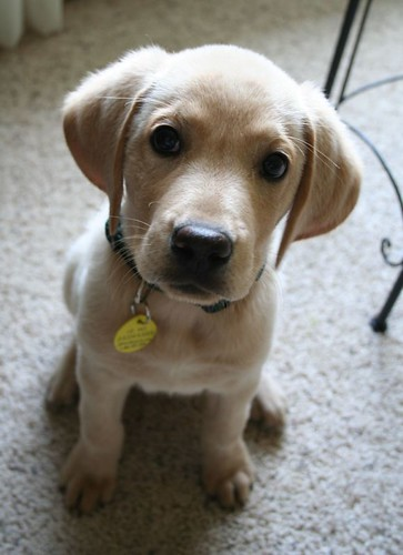 Yellow lab pitbull mix puppy