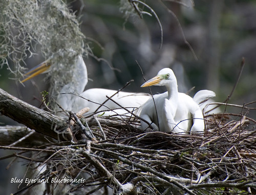 Young Egret in Nest | Shangri La Gardens | by Blue Eyes and Bluebonnets