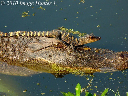 One Way To Protect A Baby Alligator | by Image Hunter 1