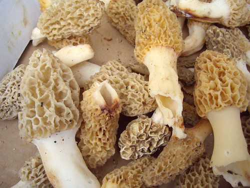 Morel Mushrooms from Wish Well Farms | by swampkitty