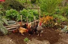 Chickens cleaning up before I sow in the bottom terrace | by hardworkinghippy
