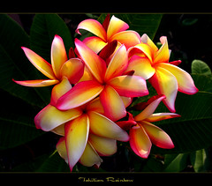 Hawaiian Flowers - The Plumeria Tahitian Rainbow | by mad plumerian