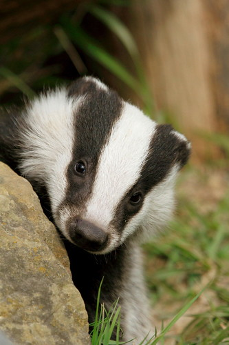 Baby badger | Flickr - Photo Sharing! - 104.6KB