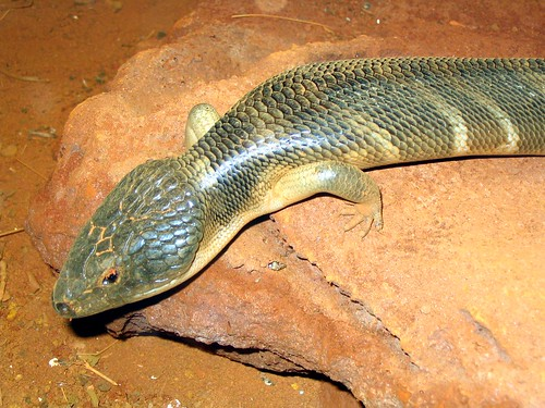 Skink at Sydney Wildlife World | by D Coetzee
