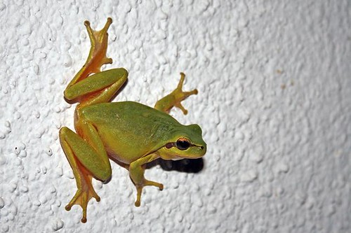 Tree Frog 20081007_1700 | by Paradise in Portugal