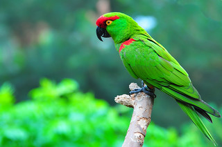 Thick-billed Parrot | by Imran Ul Karim