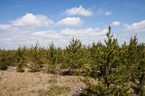 Kirtland's Warbler habitat