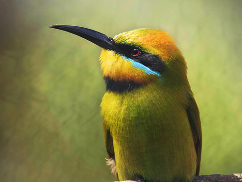Rainbow Bee-eater | by Julian Kaesler