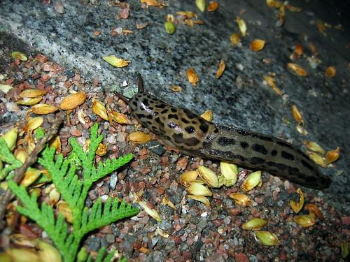 Leopard slug, Limax maximus