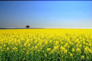Yellow field forever......... | by Nicolas Valentin