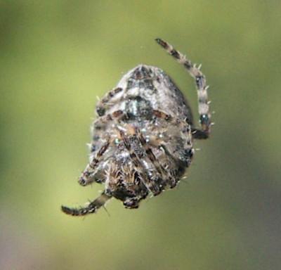 Araneus angulatus 3276428228_6afd44dfd7_o