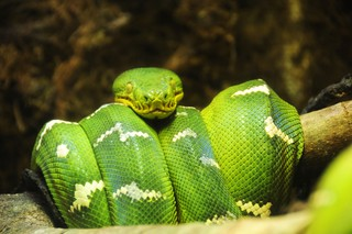 Green Tree Boa | by iamNigelMorris