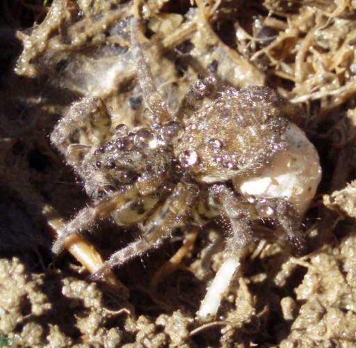 Arctosa maculata 3381932196_88dc37df11_o