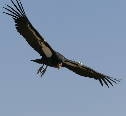 condor flying | by Contra Costa Times