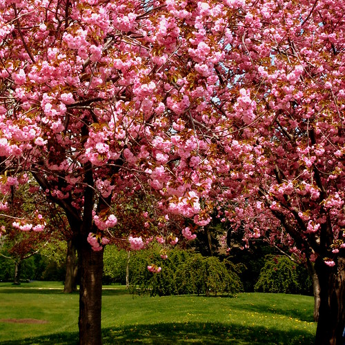 Cherry Trees | by swisscan