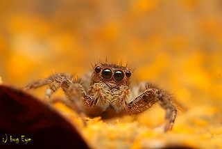 macro_jp_spider_8600 | by bug eye :) Thailand