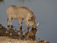 Warthog drinking from Ndutu Swamp waters 0R7E8725 | by WildImages